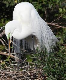 Egret in mating plumage.