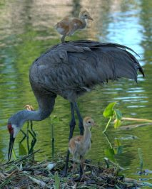 Sand hill crane with chicks. These guys are huge, coming up to your car windows.They are monogamous, and will often stand over a lost loved one for weeks. They will pair off again with their young, whom they raise to adulthood.