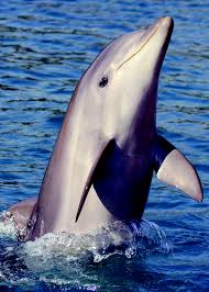 Dolphin face.
